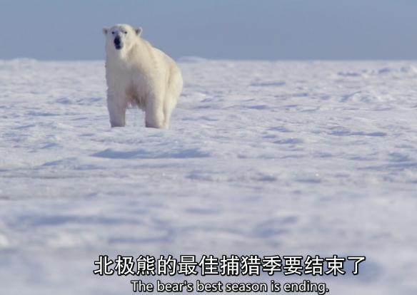 北极熊的最佳捕猎季要结束了
