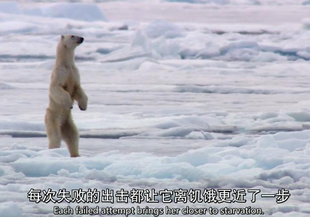 北极熊捕猎失败