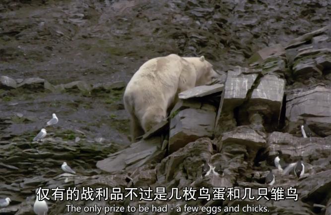 北极熊爬山
